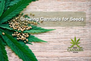 Growing-Cannabis-Seeds