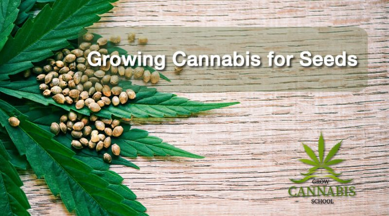 Growing-Cannabis-Seeds
